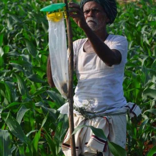 Maize farmer in Pune, India checking a Fall Armyworm Pheromone trap.